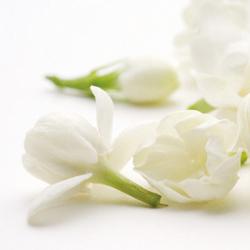 Jasmine sambac (jasminum sambac L.aiton)